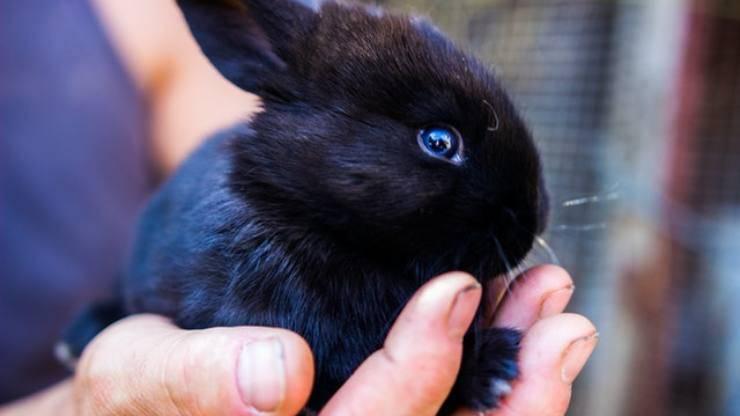 mixomatosi coniglio