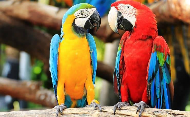 coppia ara pappagalli