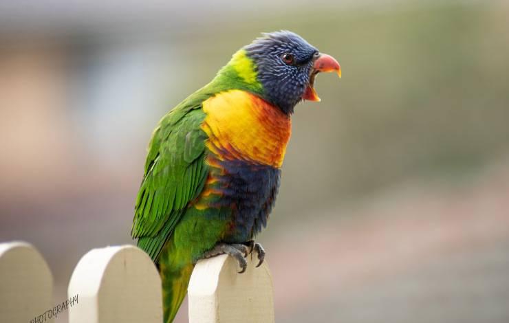 pappagallo arrabbiato