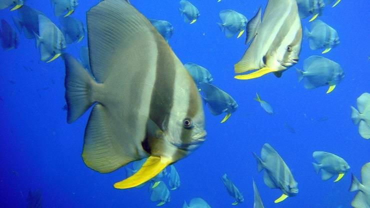 pesci fauna oceano indiano