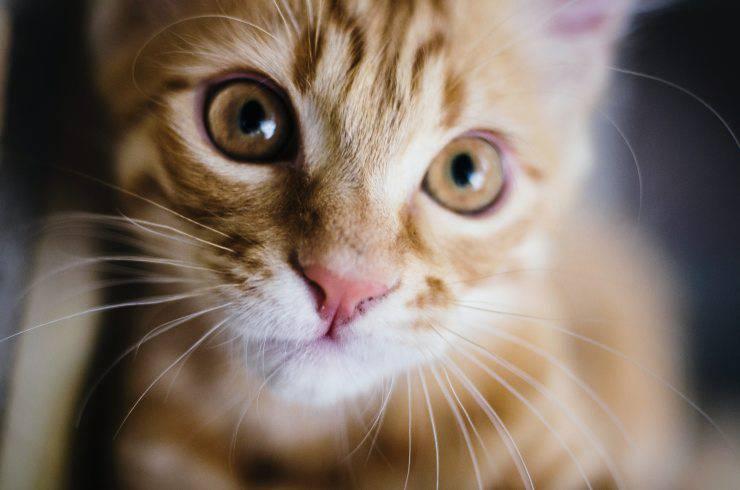 Il cibo ipoallergenico nella dieta del gatto