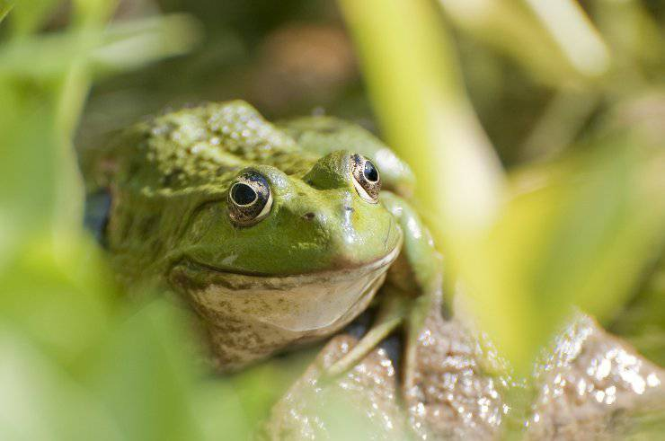 La rana e la chitridiomicosi