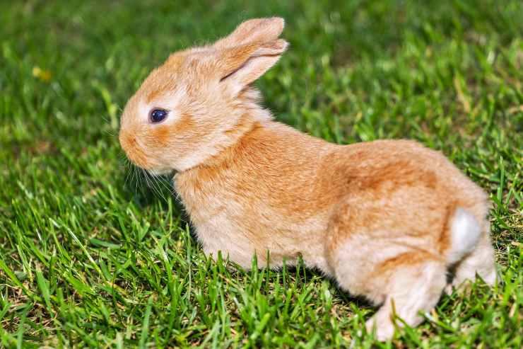 Calcoli vescicali nel coniglio