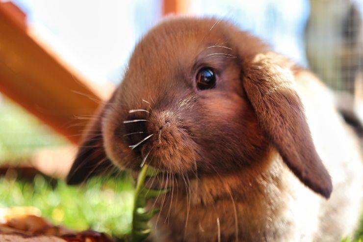 Il coniglio può mangiare la valeriana