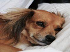 Il cane e il trauma cranico
