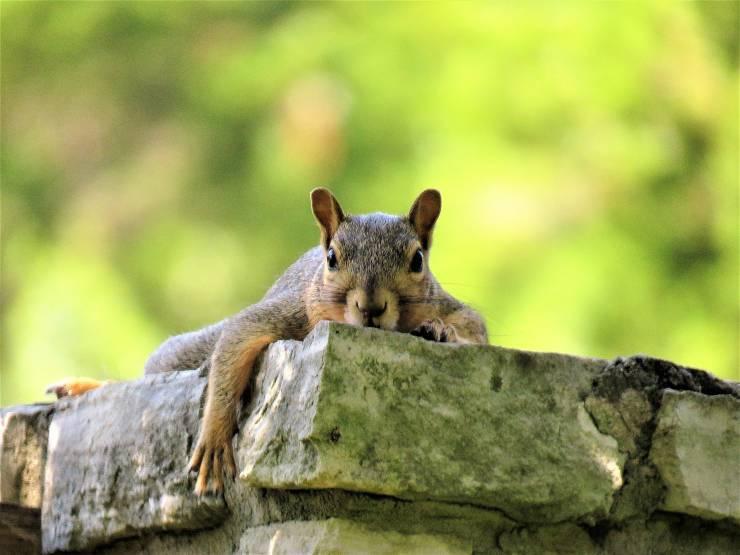 Cosa fare se si trova uno scoiattolo