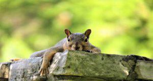 Come occuparsi di uno scoiattolo