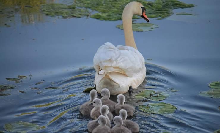 Cigno con i suoi piccoli (Foto Pixabay)