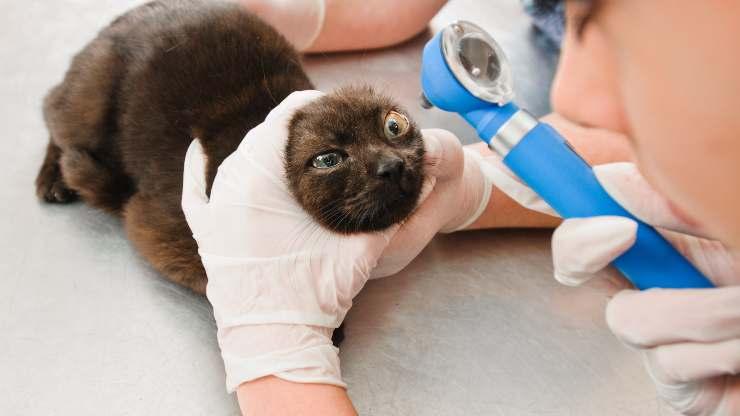 tumori intraoculari gatto