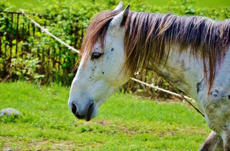 Azoturia nel cavallo