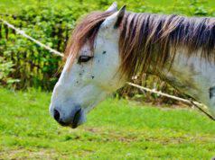 Il cavallo e l'azoturia