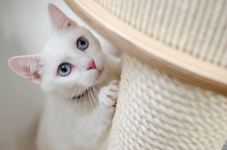 Il felino non usa il suo tiragraffi