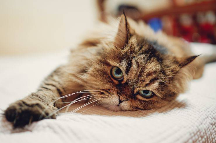 Cibo per gatto allergico