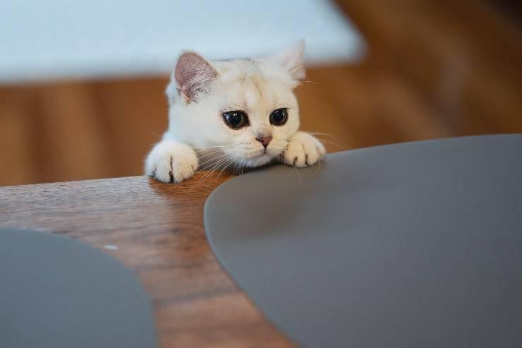 Il micio vuole sedere a tavola