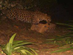 La mamma leopardo ritrova la sua cucciola (Screen Facebook)