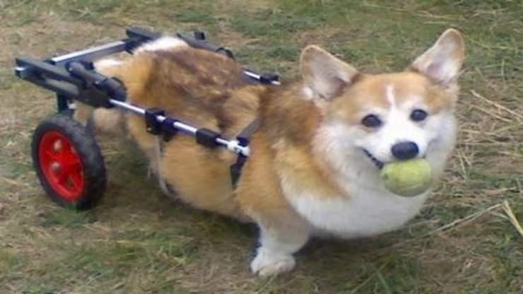 Il cane con la sedia a rotelle (Foto Facebook)