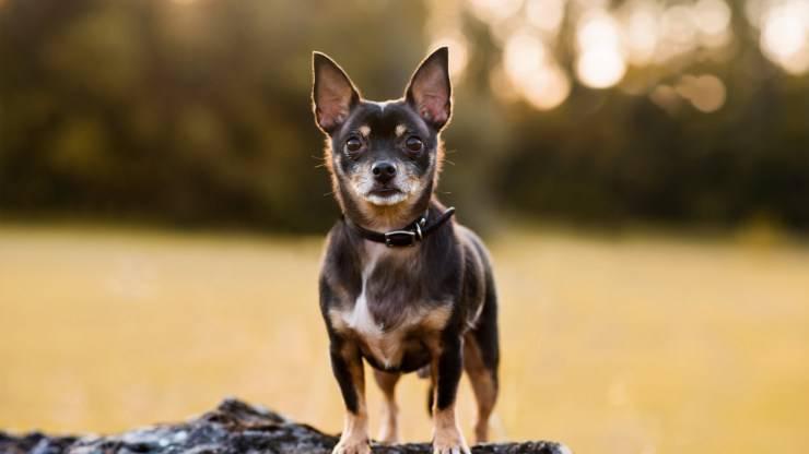 Curiosità sul Black and Tan Toy Terrier