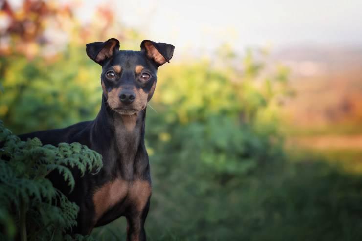 Alimentazione del Black and tan toy terrier