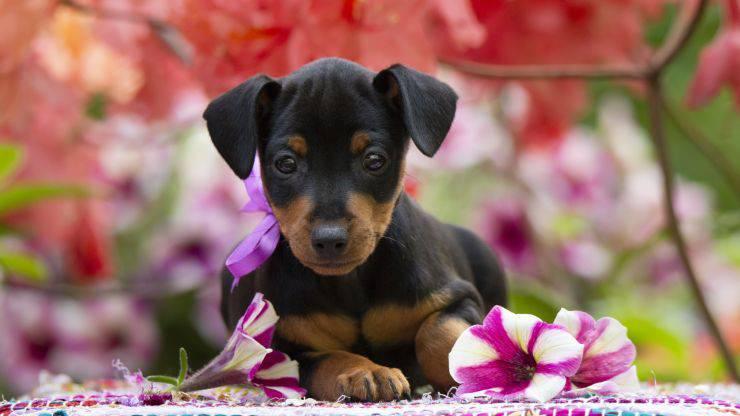 Cura del pelo del Black and Tan Toy Terrier