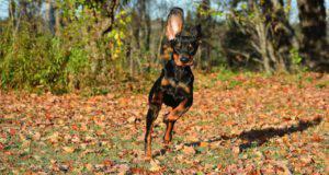 Malattie più comuni del Black and Tan Coonhound