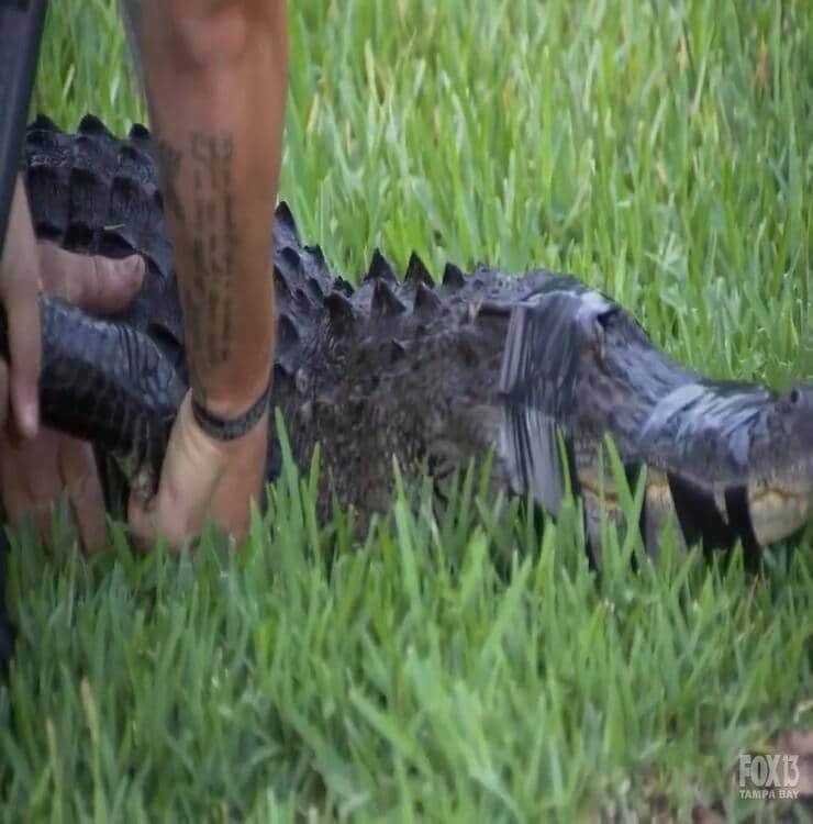 Cattura per trasporto alligatore (Screenshot Youtube)