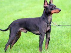 Malattie più comuni del Black and Tan Toy Terrier