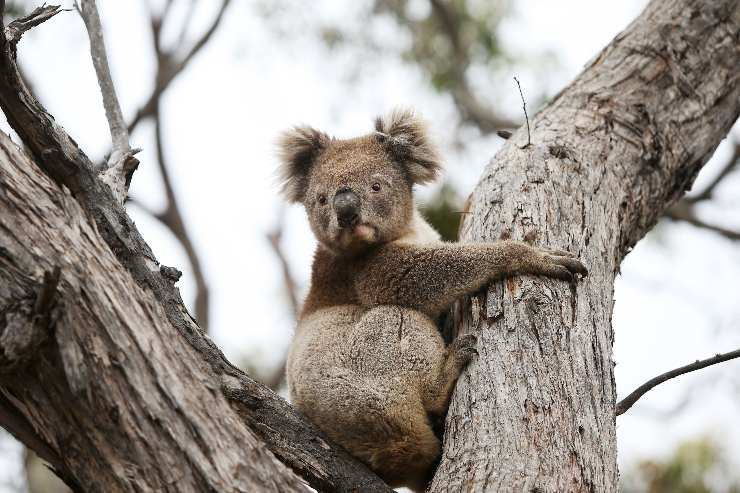 Koala mentre abbraccia un albero
