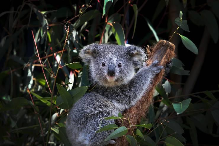 Marsupiale australiano