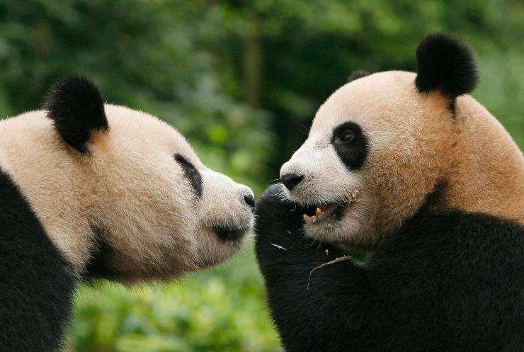 Panda a rischio estinzione