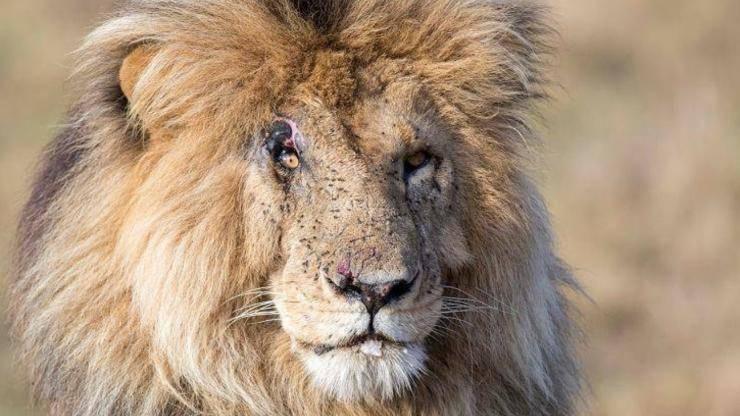 Morto Leone Scarface Leggenda Africa