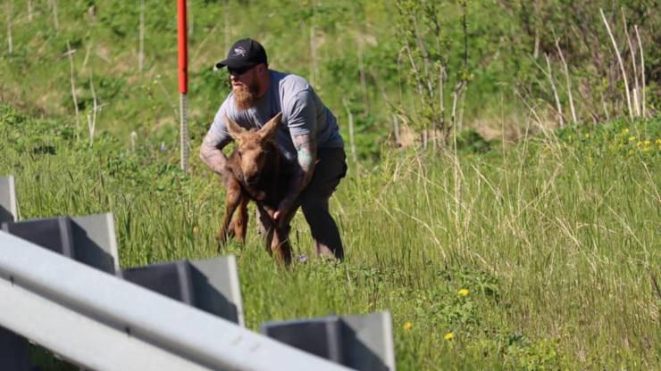 Uomo Salva Cucciolo Alce Alaska Autostrada