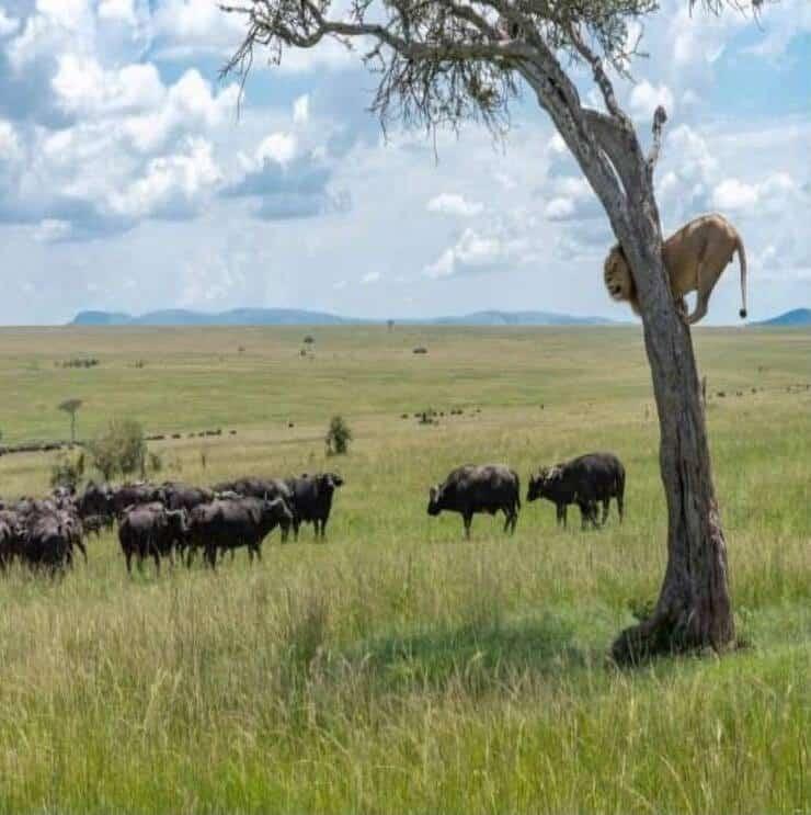 Leone circondato dai bufali (Screen Facebook)