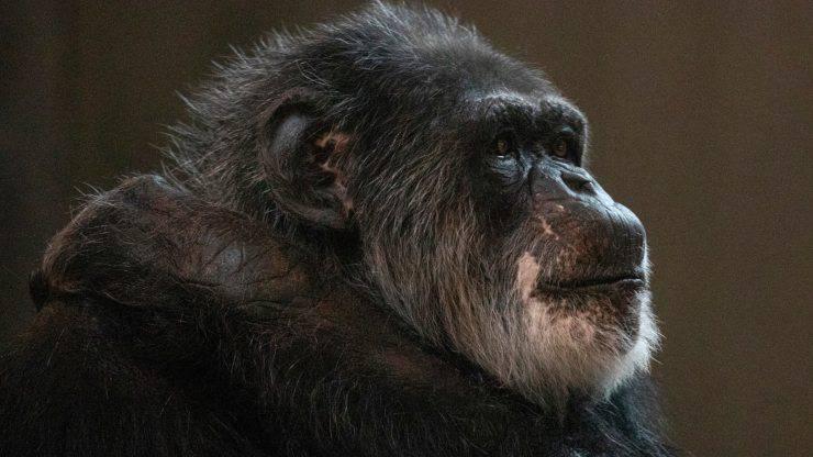 Morto Scimpanzé Cobby