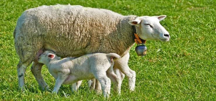 Pecore (Pixabay)