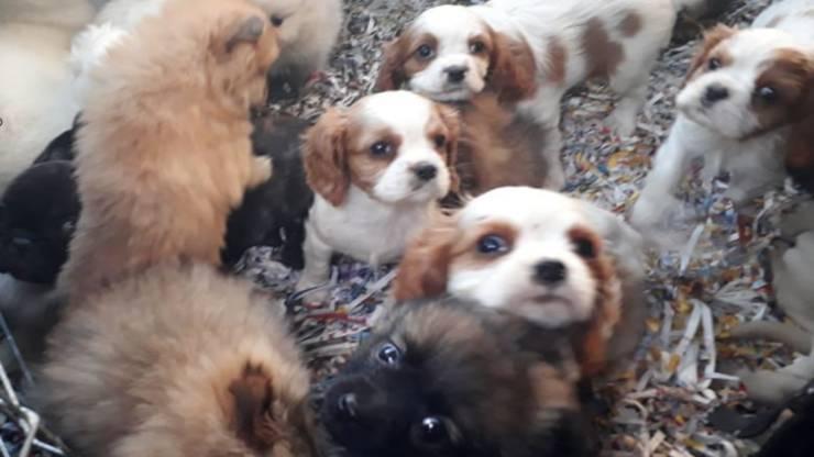 Cuccioli sequestrati (Foto di dominio pubblico polizia di stato )
