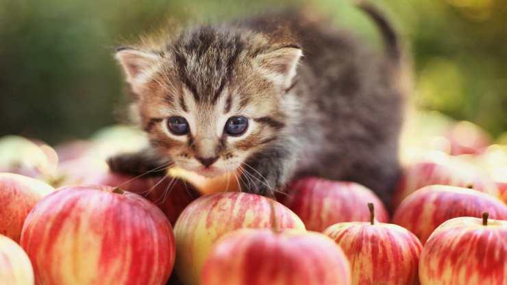 aceto di mele gatto