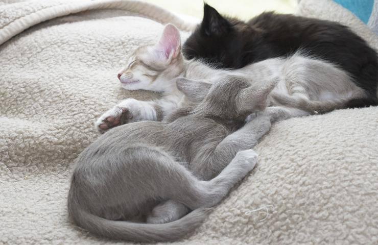 orientale longhair cuccioli