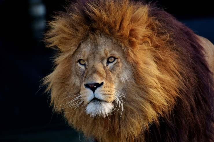 La criniera del leone
