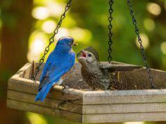 I parassiti degli uccelli