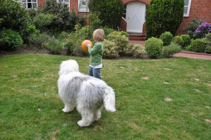 Bambino gioca col Bobtail