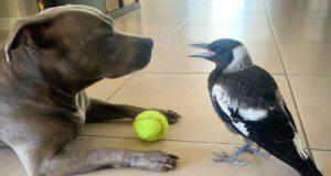 Cane e la gazza (Foto video)