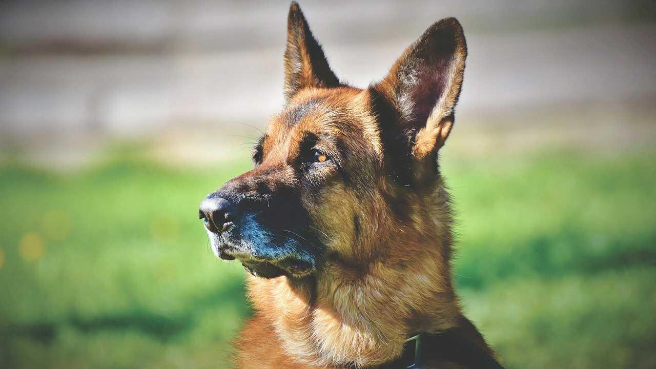 cane più vecchio