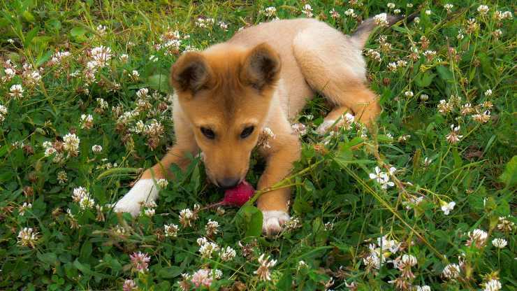 cane può mangiare i ravanelli