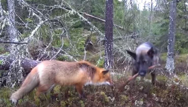 amicizia volpe cane