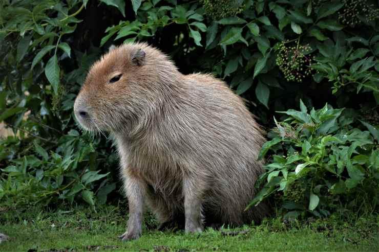 Il capibara domestico