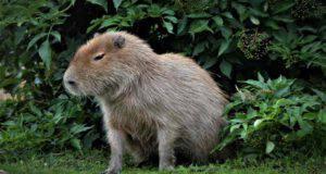 Capibara animale domestico