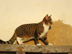 Il gatto cammina attaccato alla parete