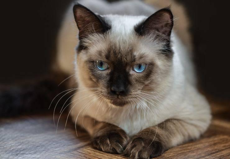 Dermatomiosite nel gatto