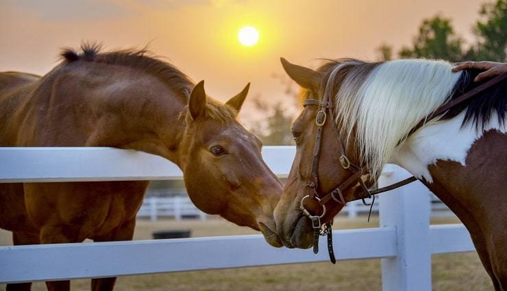 bacio tra cavalli