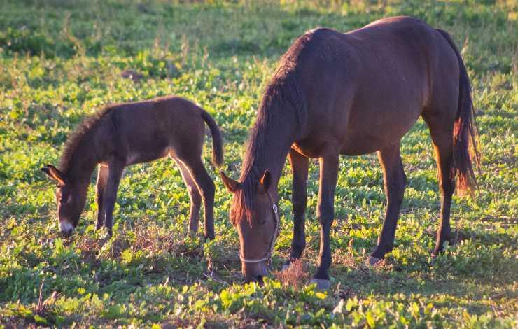 cavallo mangia le sue feci